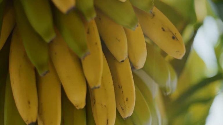 Bananen Madeira