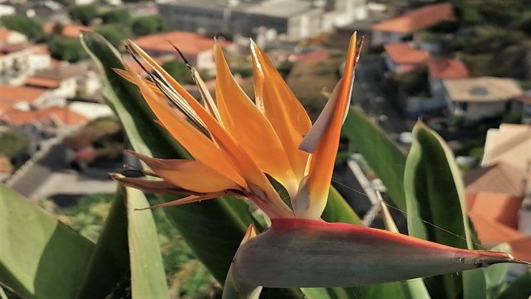Madeira Strelizien